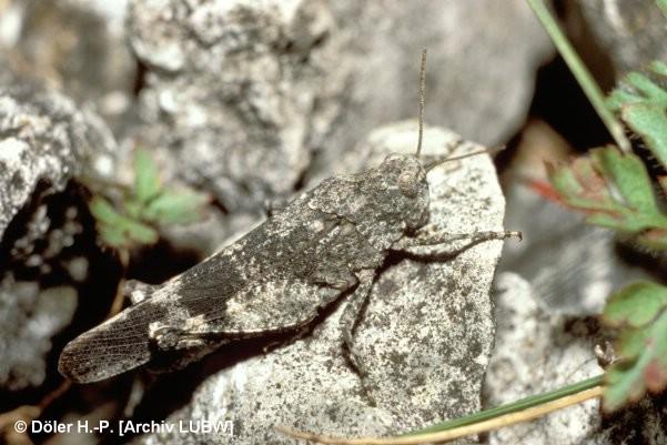 Oedipoda germanica (Rotflügelige Ödlandschrecke), © Döler H.-P.